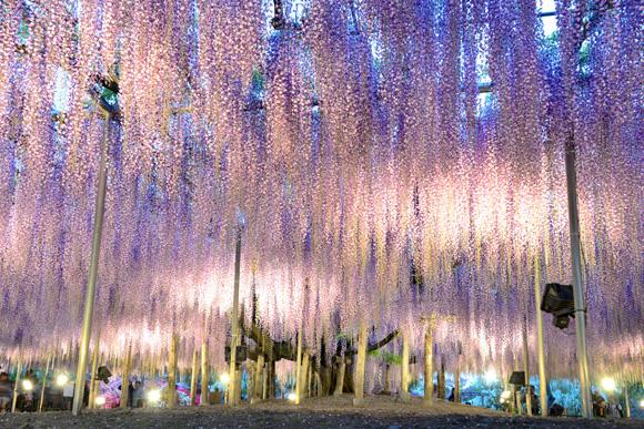 ashikaga_kiji_01.jpg